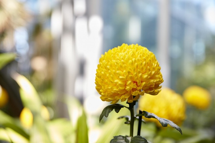 Chrysanthemums and More!