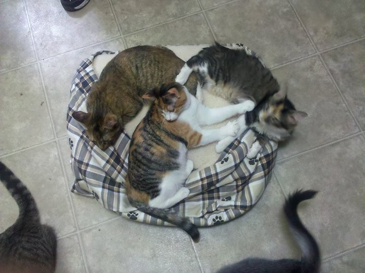 Three cats share a bed at the Carol's Ferals adoption facility.