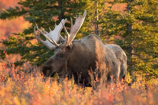 A total of 59 moose were airlifted and then trucked from Ontario to the western Upper Peninsula in the 1980s.
