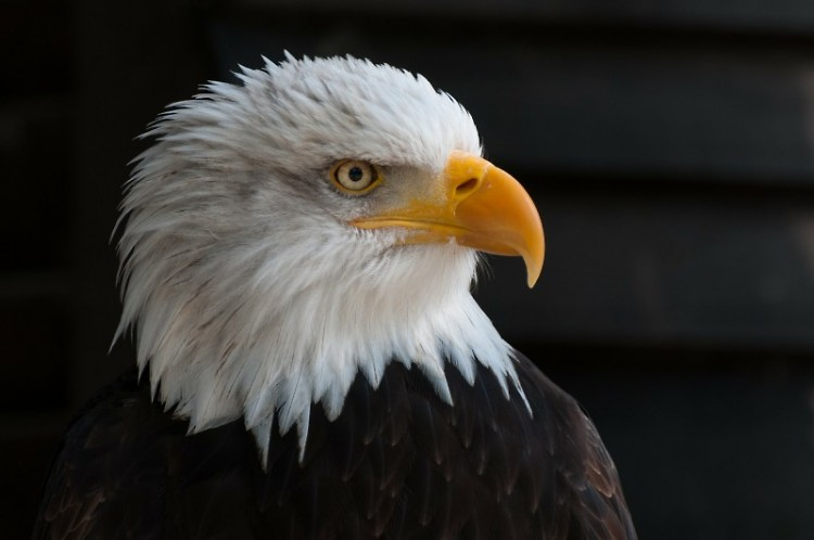 The success of Michigan's bald eagle population wouldn't have been possible without the effort of many groups working together.