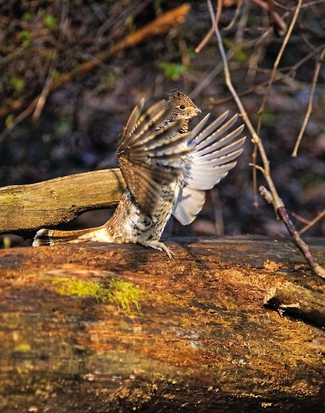 The male grouse defends his territory by 'drumming,' or quickly beating his wings against the air.