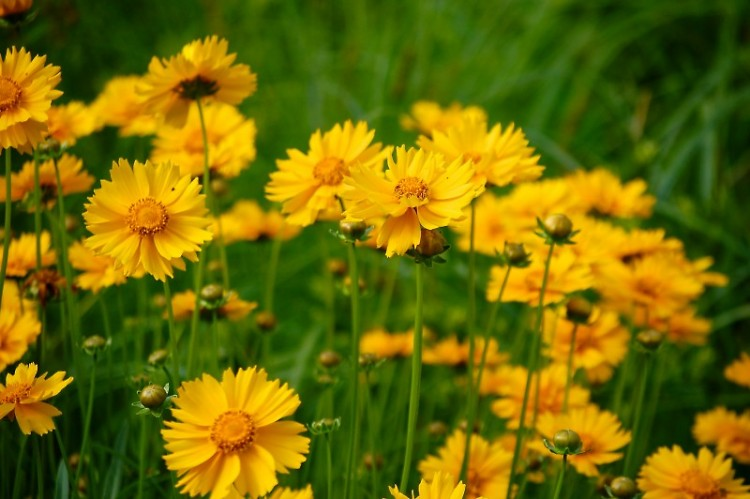 Michigan wildflowers, Coreopsis