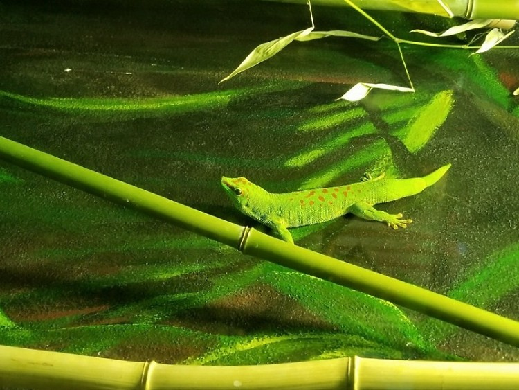 Madagascar Giant Day Gecko at John Ball Zoo
