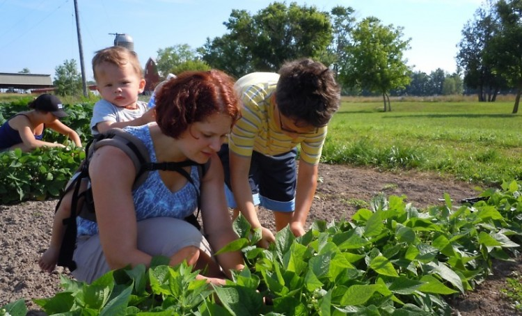 Volunteers pick green beans for local families at a Feeding America West Michigan event.
