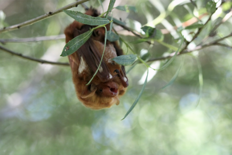 Eastern red bat (Lasiurus borealis): The coat is bright orange to yellowish brown with white marking on the shoulders.