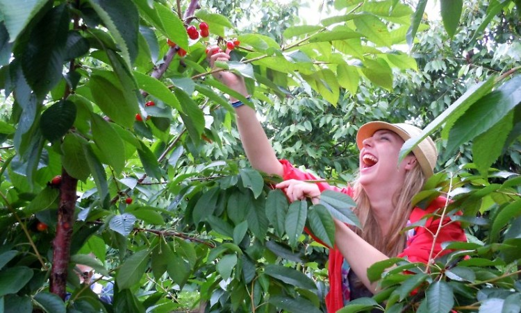 Terra GR's Megan Leech picks cherries for Feeding America West Michigan in July.