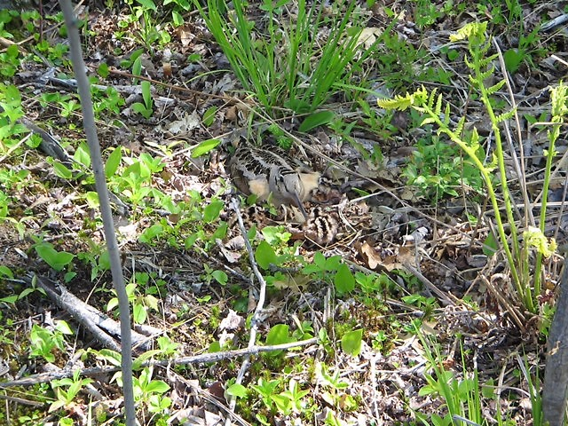 Because woodcock are so well camouflaged, it's often a challenge to find these birds so they can be banded.