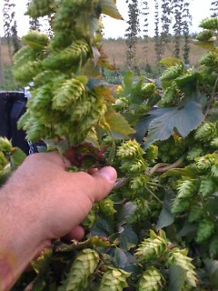 Vine of Michigan organic hops