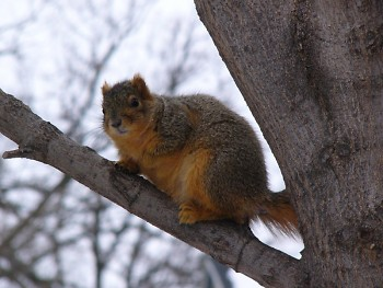 Squirrel in tree in Grand Rapids.