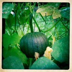 Four types of squash are bobbiding out of the community garden: zucchini, acorn, pumpkin (pictured above) and summer squash.