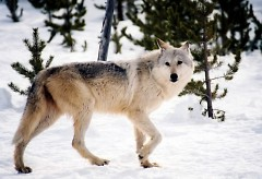 Pending petition approval, the question of a gray wolf hunting season in Michigan will be on next year's ballot.