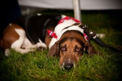 Yes, dogs often get wiped out from the excitement and fun at Blocktail. This Basset hound is proof.