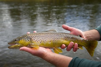 Brown trout are a prized catch in Michigan.