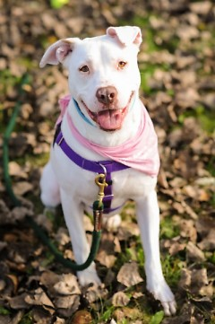 Meet Candy, a 6 year old American Staffy mix!