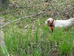 Belle, an English setter, stands at point to help volunteer bird bander Jerrie Schultz find woodcock.