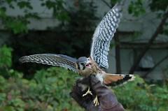 Falcon prepares for takeoff
