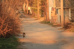A feral cat walks down the alley between Innes and Lyon Streets NE.