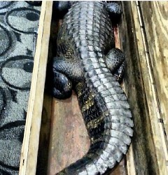 Alligators are transported in boxes barely the size of their bodies.