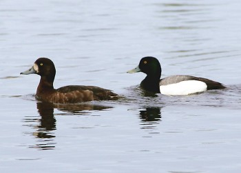 This spring, the DNR will band scaup. It's important to band scaup in late winter/early spring before they head north.