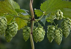 Michigan organic hops