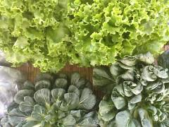 Lettuce & Tatsoi
