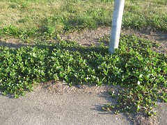 Healthy, full grown purslane