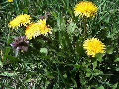 Happy Dandelions ready for snacking.