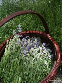 Harvesting Lavender stalks to be bundled and dried