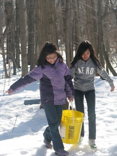Students working as a team to collect their buckets containing sap for boiling into syrup.
