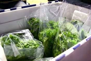 Organic lettuce from Mud Lake Farm, available at the West Michigan Co-op all year long
