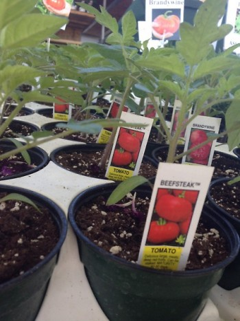 Tomato Plantings