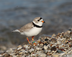 One of the rarest species is the Great Lakes piping plover.