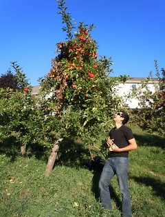 A Food Bank volunteer picks apples at an orchard in Ada.